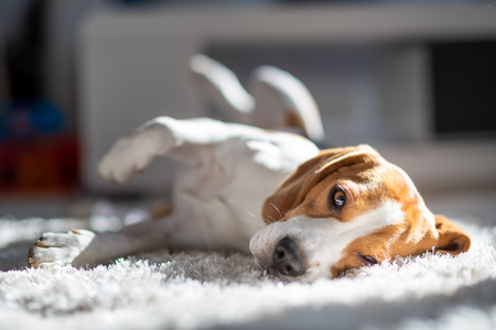 Dog tired sleeps on a floor. Funny pose, looking at camera. Beagle on carpet in sun.