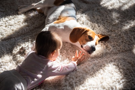 Dog tired sleeps on a floor. Baby reaching dogs head. Beagle on carpet in sun.