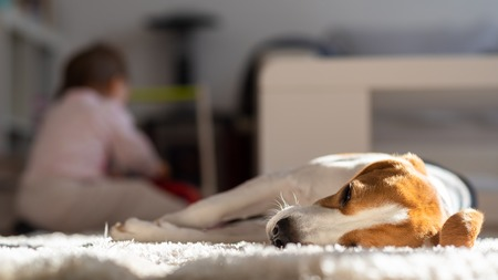 Dog tired sleeps on a floor. Baby playing in background. Beagle on carpet in sun. Stock Photo