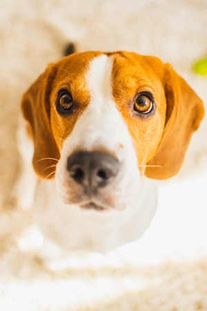 Beagle dog with big eyes sits and looking up towards the camera Stock Photo