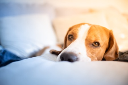 Dog tired sleeps on a couch, looking at camera. Beagle on sofa. Stock Photo