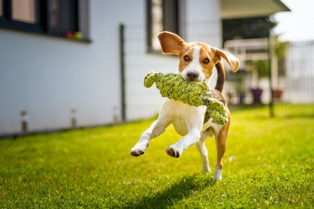 Beagle dog fun in garden outdoors run and jump with knot rope towards camera