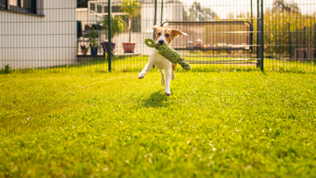 Beagle dog fun in garden outdoors run and jump with knot rope towards camera. Sunny summer day Stock Photo