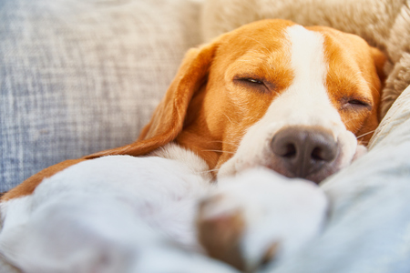 Dog on a sofa in funny pose. Beagle tired sleeping on couch. Background