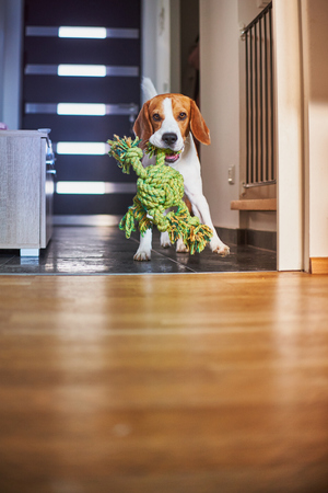 Dog beagle purebred running with a green rope in house. Fetching a toy indoors