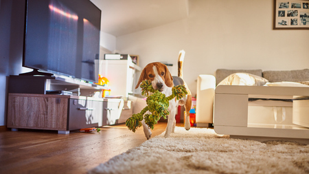 Dog beagle purebred running with a green rope in house in living room. Fetching a toy indoors