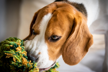 Beagle dog biting and chewing on rope knot toy on a couch. Closeup Stock Photo