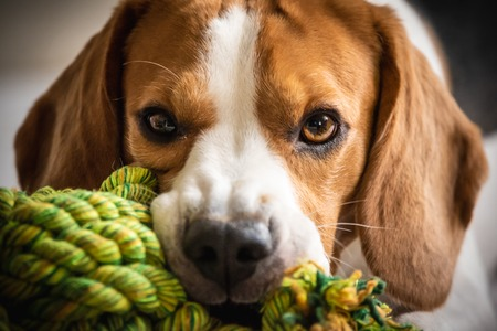 Beagle dog biting and chewing on rope knot toy on a couch. Looking into camera. Closeup