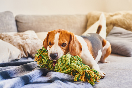 Dog beagle with a green knot rope in house in living room on a couch. Chewing a toy on sofa.