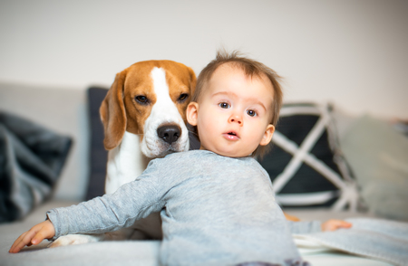 Baby with a Beagle dog in home. Family friendly dog in house.