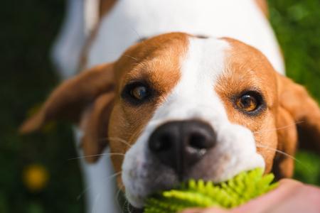Tira y afloja con perro beagle sobre un césped en un día soleado de verano. De cerca