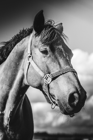 Horse standing on meadow, on farm in sunny day. Head closeup Black and white background