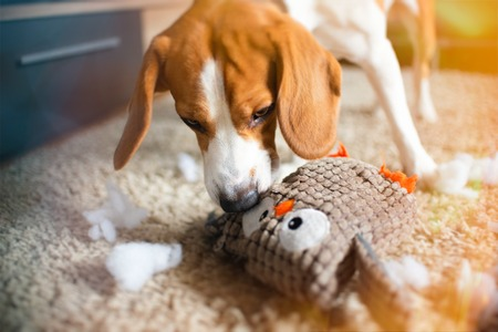 Beagle dog rip a toy into pieces on a carpet. Dog in house concept
