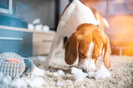 Beagle dog rip a toy into pieces on a carpet. Dog in house concept Archivio Fotografico