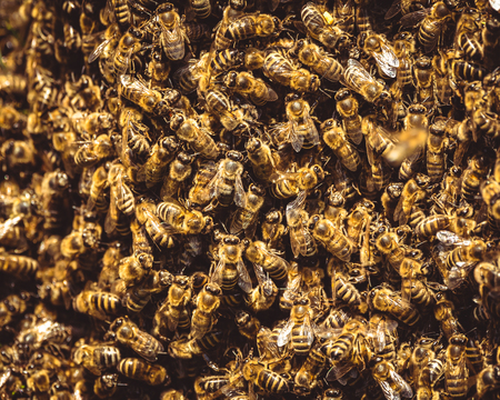 Honeybees swarm around their Queen as she left a beehive. 免版税图像