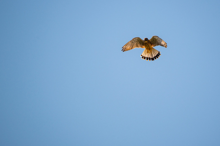 Kestrel hovering in the sky above a field on a blue sky. Background