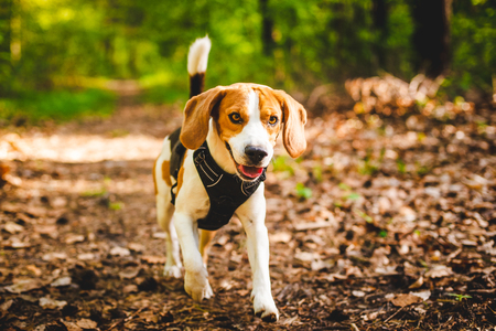 Happy dog running in a forest. Beagle dog playing outdoors