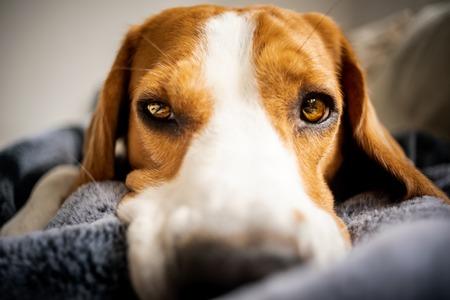 Beagle hond liggend op deken op een bank. Er verdrietig of ziek uitzien. vermoeide hond