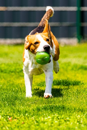 Beagle dog jumping and running with a toy in garden, towards the camera. Vertical photo