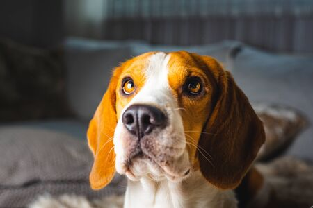 Dog beagle breed at the age of 4 years old, the male head shoot portrait Foto de archivo