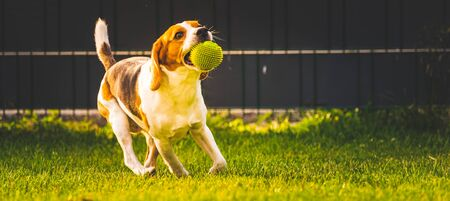 Beagle dog fun in garden outdoors run and jump with ball towards camera. Dog background. Copy space Stock Photo