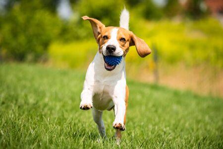 Perro Beagle corre a través de una pradera verde con una pelota. Copie el concepto de perro doméstico de espacio. Perro buscando bola azul. Foto de archivo