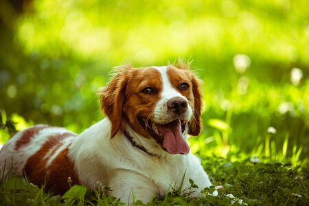 Breton spaniel female puppy lying down in green grass. Animal background. Copy space on right Stock fotó