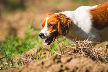 Breton spaniel female puppy hunting on field. Animal background