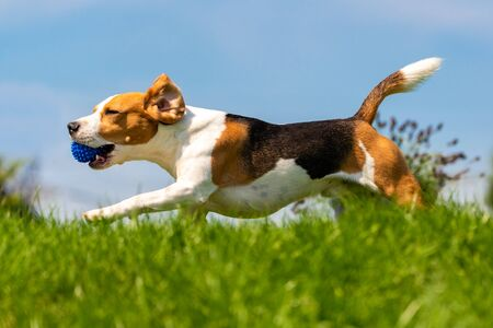 Beagle dog fun in park outdoors run and jump with ball. Dog background.