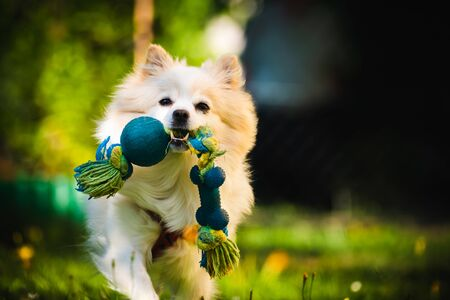 Beautiful white dog - pomeranian german spitz klein fetching a toy running towards camera. Small domestic pet concept. Stock Photo