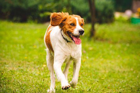 Breton spaniel puppy running towards camera, copy space on right.