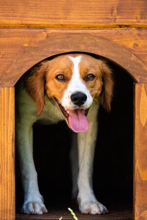 Brittany dog female puppy in wooden dog house. Peeking from inside with tongue out. Vertical photo.