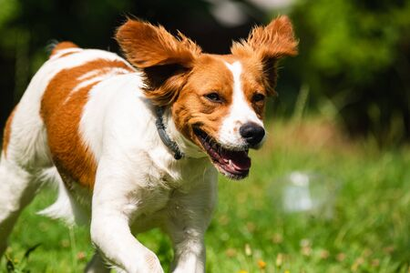 Brittany dog female puppy running through grass towards camera. Animal background. Copy space on right