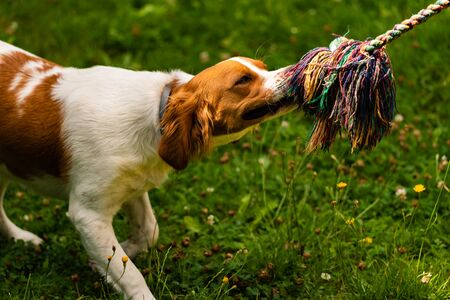 Brittany dog puppy playing outside tug of war. Dog training concept Vertical photo