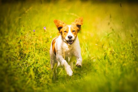Breton spaniel female puppy running through grass. Animal background. Copy space on right Stock fotó