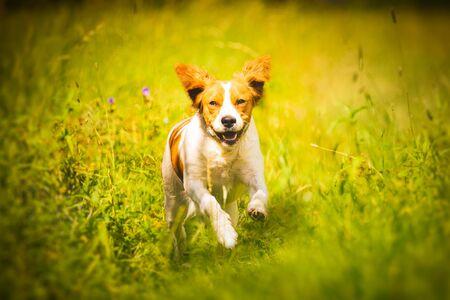 Breton spaniel female puppy running through grass. Animal background. Copy space on right