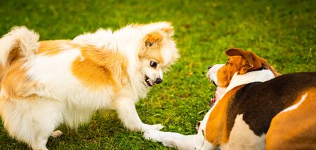Two dogs playing on a green grass in garden. Beagle dog with pomeranian spitz klein. Two breeds