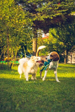 Two dogs playing on a green grass in garden. Beagle dog with pomeranian spitz klein. Two breeds Standard-Bild - 129109427
