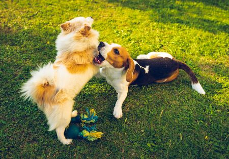 Two dogs playing on a green grass in garden. Beagle dog with pomeranian spitz klein. Two breeds Standard-Bild - 129109142