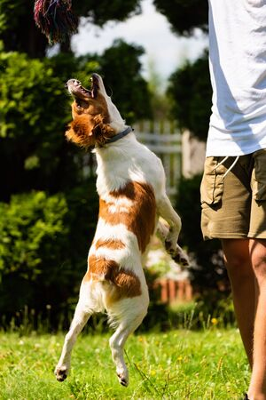 Brittany Spaniel puppy playing outside tug of war. Jumping high to get a rope. Vertical photo