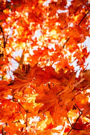 Bright red maple leaves in fall against sky on tree. 스톡 콘텐츠