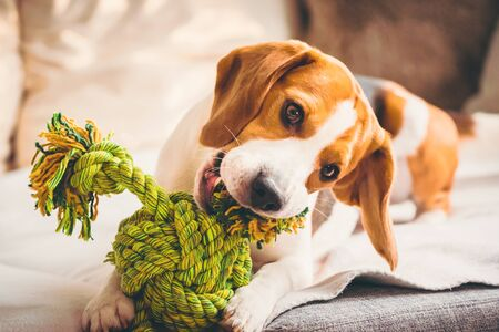 Dog with rope toy on sofa. Excited about biting a toy.