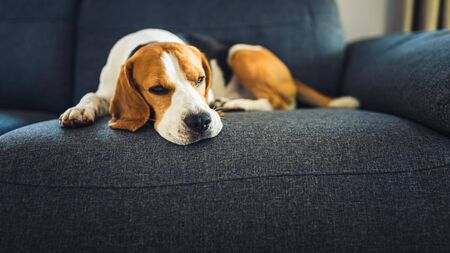 Dog lying on the sofa. Canine background