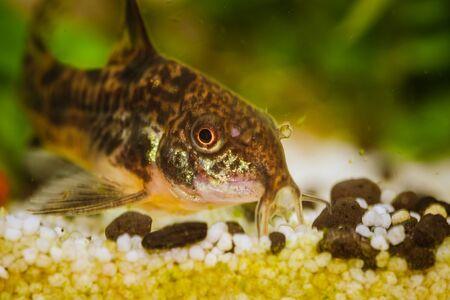 Leopard corydoras aquarium fish. Cleaning fishes in captivity 写真素材