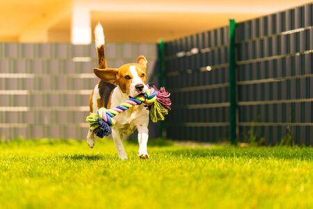 Perro Beagle corre en el jardín hacia la cámara con un juguete de cuerda. Perro de día soleado a buscar un juguete.