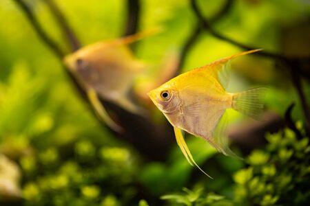Gold Pterophyllum Scalare in aqarium water, yellow angelfish Archivio Fotografico - 130136424