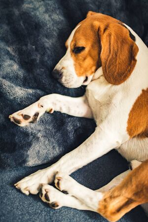 Dog lying on the sofa. Funny beagle pose. Canine background