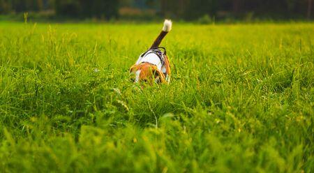 Beagle dog fun in garden outdoors run and jump with ball towards camera Reklamní fotografie