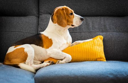 Dog lying, sleeping on the sofa on yellow pillow. Canine background