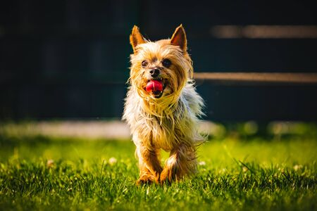 An amazing Yorkshire Terrier is having fun running towards camera.
